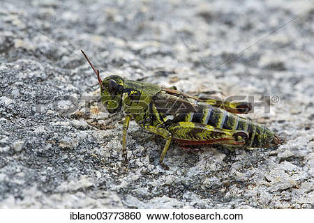 "Stock Photography of ""Nordic Mountain Locust (Bohemanella frigida."