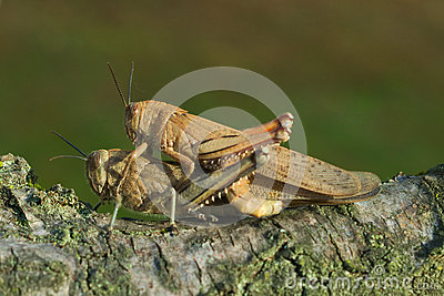 Mating Locust Stock Photos, Images, & Pictures.