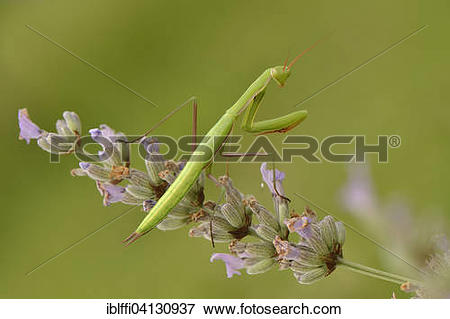 Picture of Female European mantis (Mantis religiosa) on lavender.
