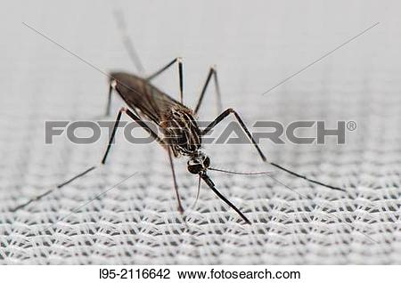 Stock Photo of Found from 2012 in Belgium and Italy Aedes koreicus.