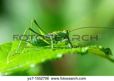 Stock Images of Grasshopper camouflaging on a leaf, Padua hills.