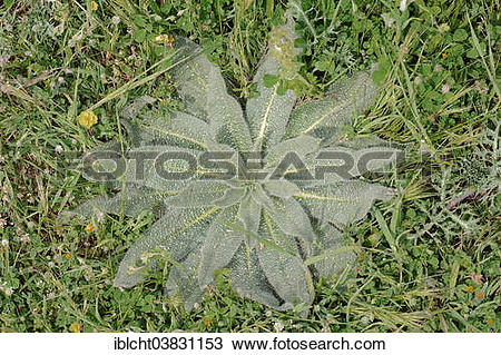 "Stock Photo of ""Italian viper's bugloss (Echium italicum), leaves."