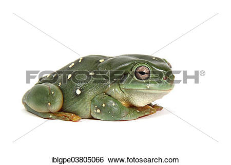 Stock Images of Australian Green Tree Frog (Litoria caerulea.