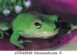 Litoria caerulea Images and Stock Photos. 153 litoria caerulea.
