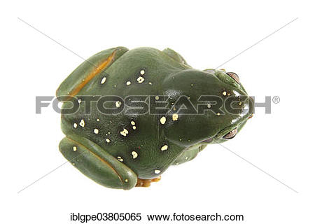 Stock Image of Australian Green Tree Frog (Litoria caerulea.