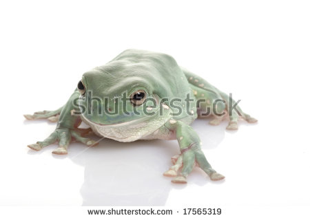 Litoria Caerulea Stock Photos, Royalty.