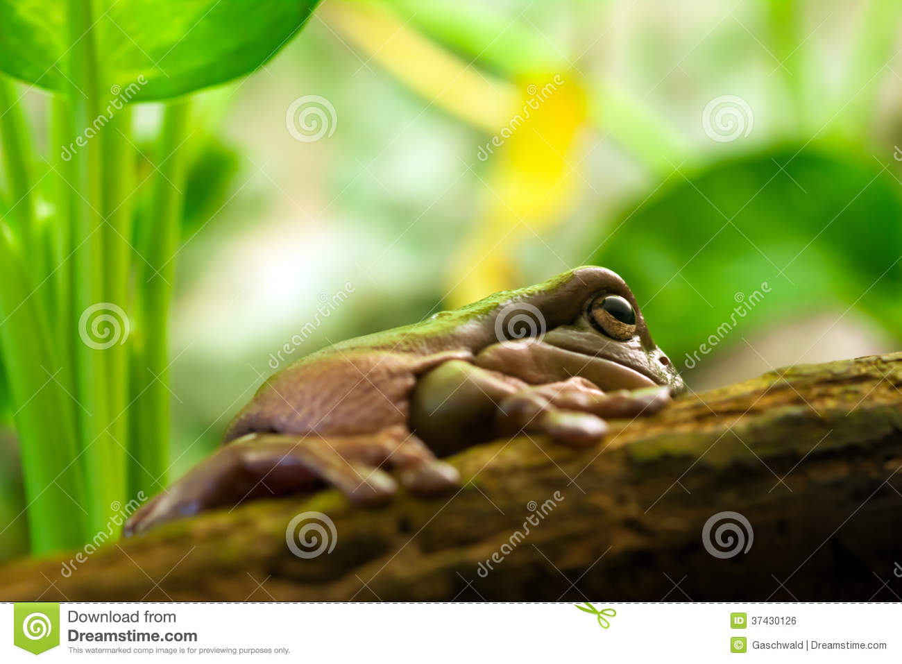 Australian Green Tree Frog Litoria Caerulea Stock Photos, Images.