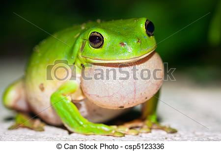Stock Image of Male Green tree frog (Litoria caerulea) calling for.