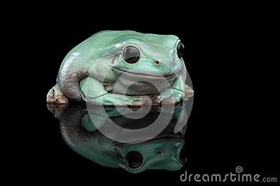 Australian Green Tree Frog (Litoria Caerulea) Stock Photos.