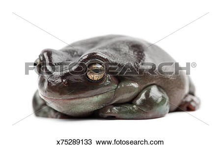 Stock Photo of Australian Green Tree Frog.