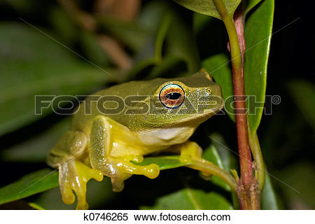 Stock Illustration of litoria caerulea k0746265.