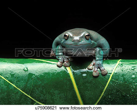 Stock Photography of White's Tree Frog/ Australian Green Tree Frog.