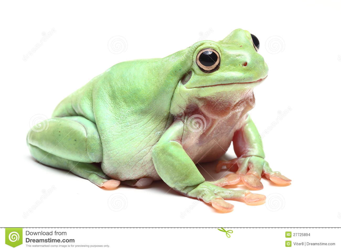 Australian Green Tree Frog (Litoria Caerulea) Stock Images.