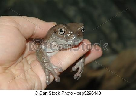 Stock Photos of White Tree Frog (Litoria caerulea.