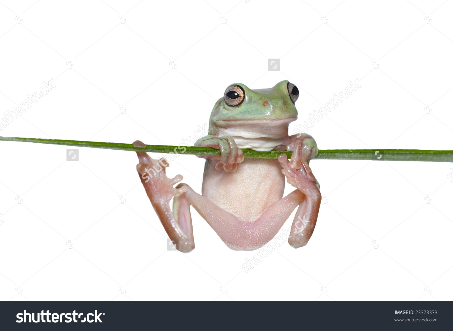 Australian Tree Frog Litoria Caerulea Hang Stock Photo 23373373.