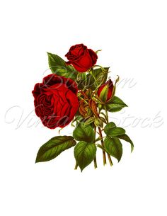 roses,pink,roze,rosa,.