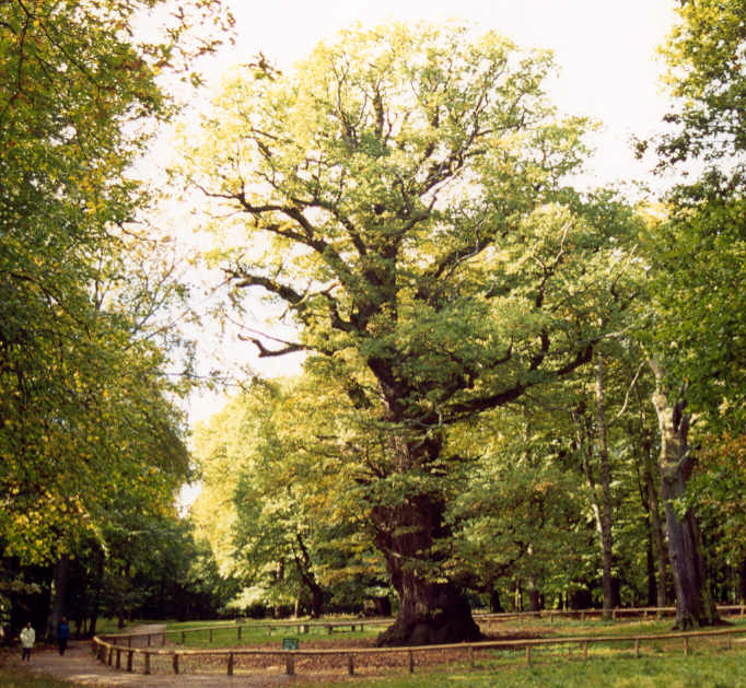 Ivenack Oak, a huge and ancient Pedunculate oak in Ivenack.