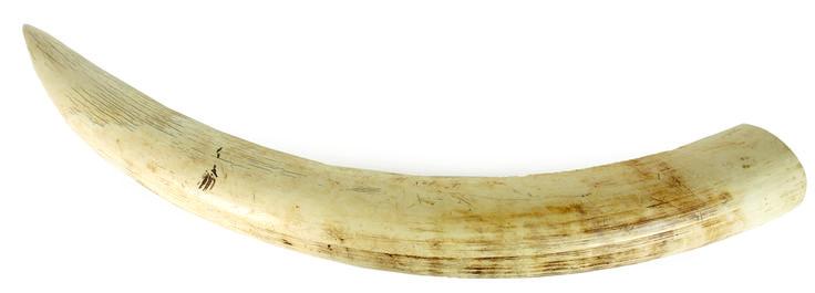 Ivory tusk clipart - Clipground  Ivory tusk clip...