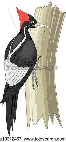 Clip Art of Ivory Billed Woodpecker u19312467.