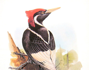 Woodpecker.
