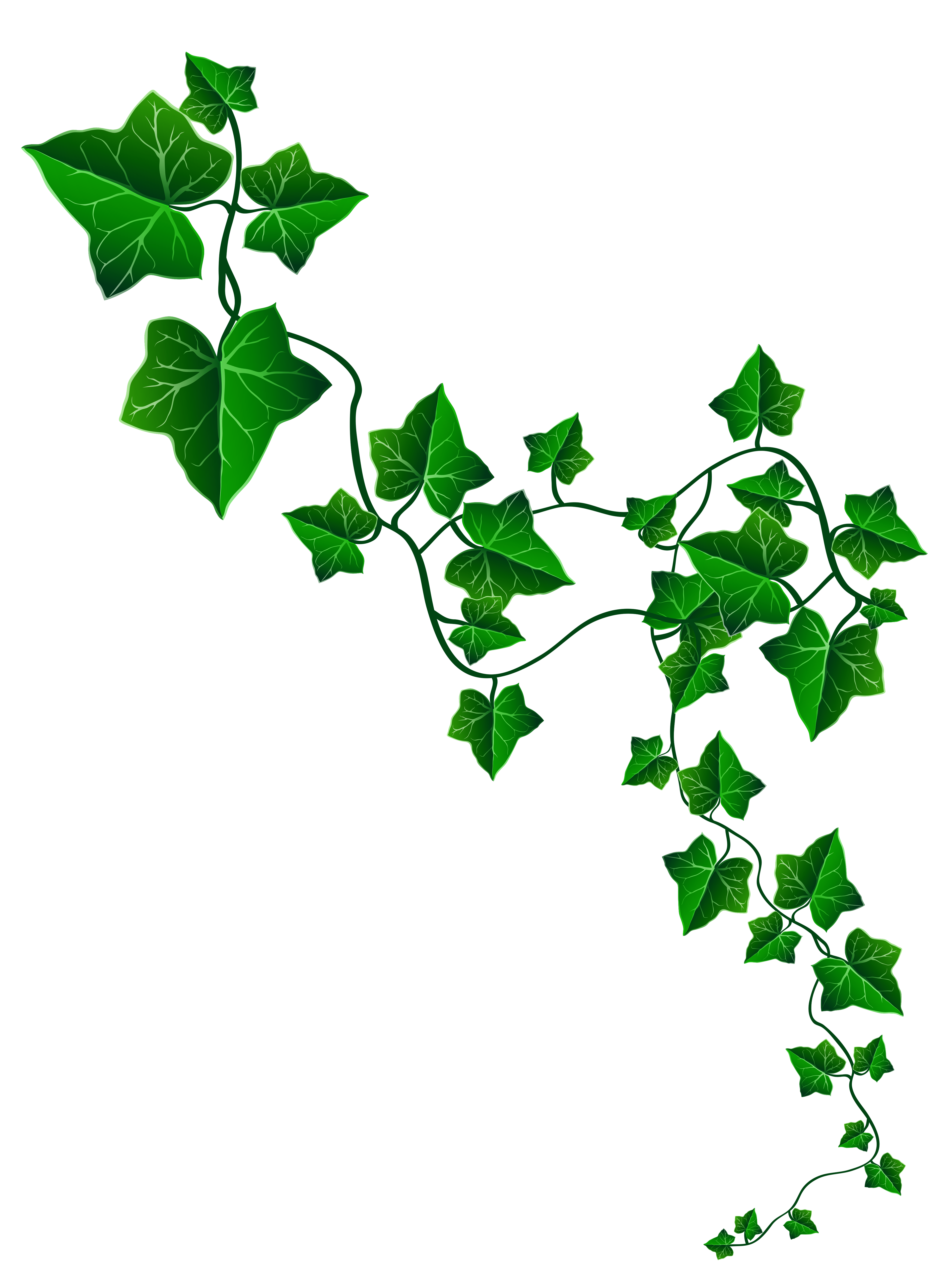 Ivy Clipart.