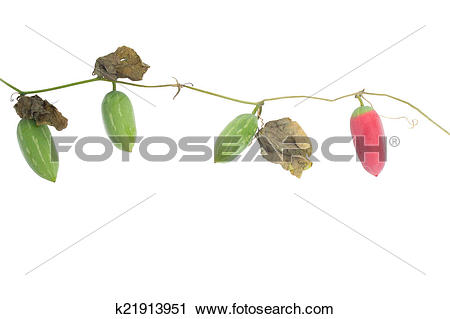 Stock Photography of Ivy gourd fruit k21913951.