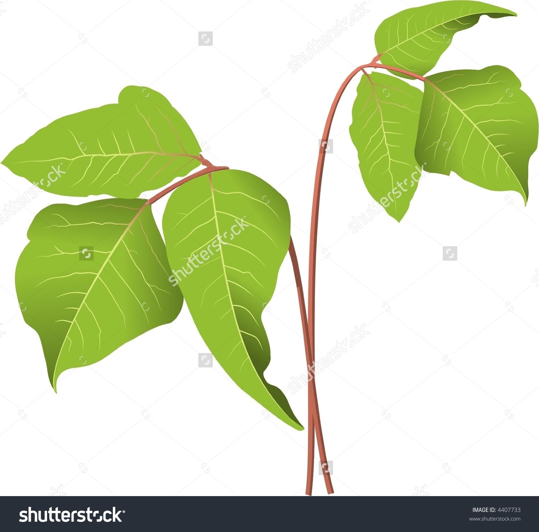 Poison Ivy Plant Stock Vector Illustration 4407733 : Shutterstock.