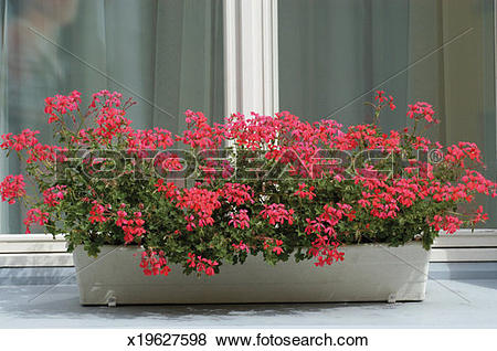 Pictures of Red Ivy Geranium in a window box x19627598.