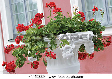 Stock Photo of Red Ivy Geranium in a white vase outside a window.