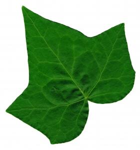 Ivy leaf clip art.