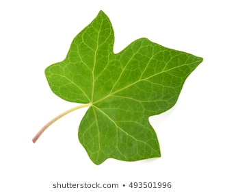Download Free png Ivy leaf Images, Stock Photos & Vectors.