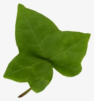 Ivy Leaf PNG & Download Transparent Ivy Leaf PNG Images for Free.