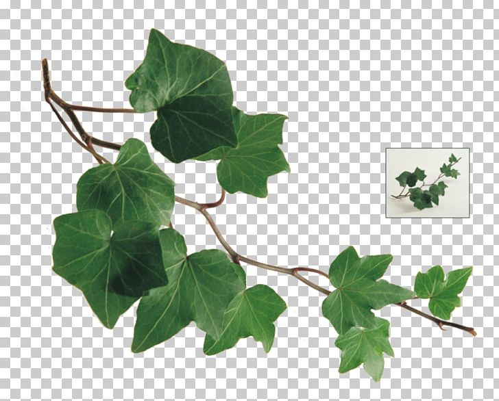 Branch Common Ivy Leaf Vine Twig PNG, Clipart, Araliaceae, Branch.