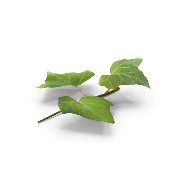 Ivy Leaf PNG Images & PSDs for Download.