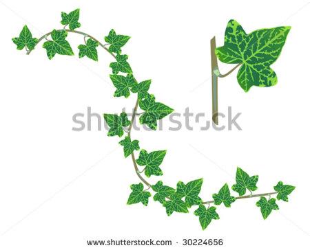 Ivy Leaf Vine Clipart.