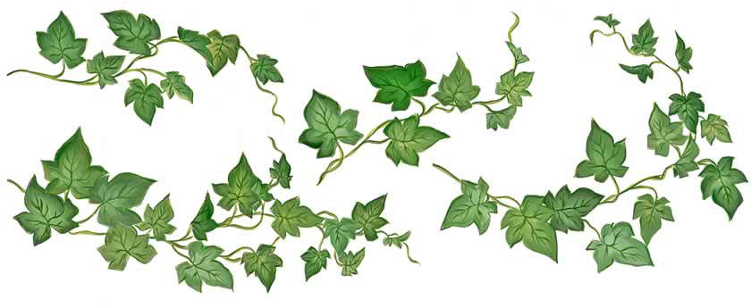 Ivy Leaf Clipart.
