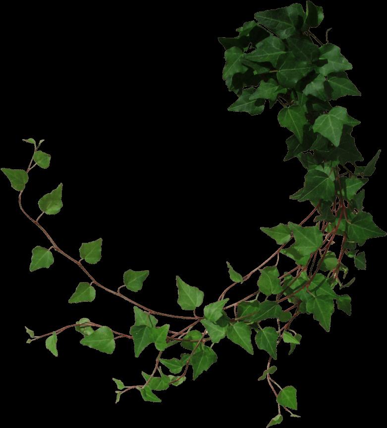 Transparent Ivy Vine Clip Art.