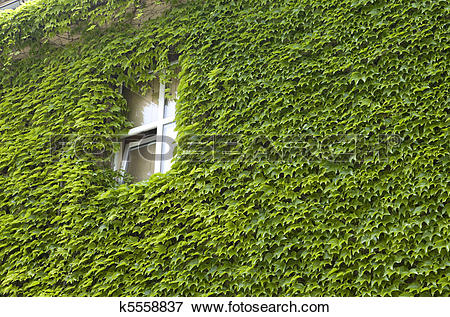 Picture of Ivy wall.
