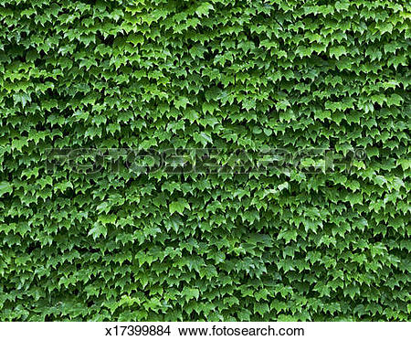 Stock Photo of Ivy wall x17399884.