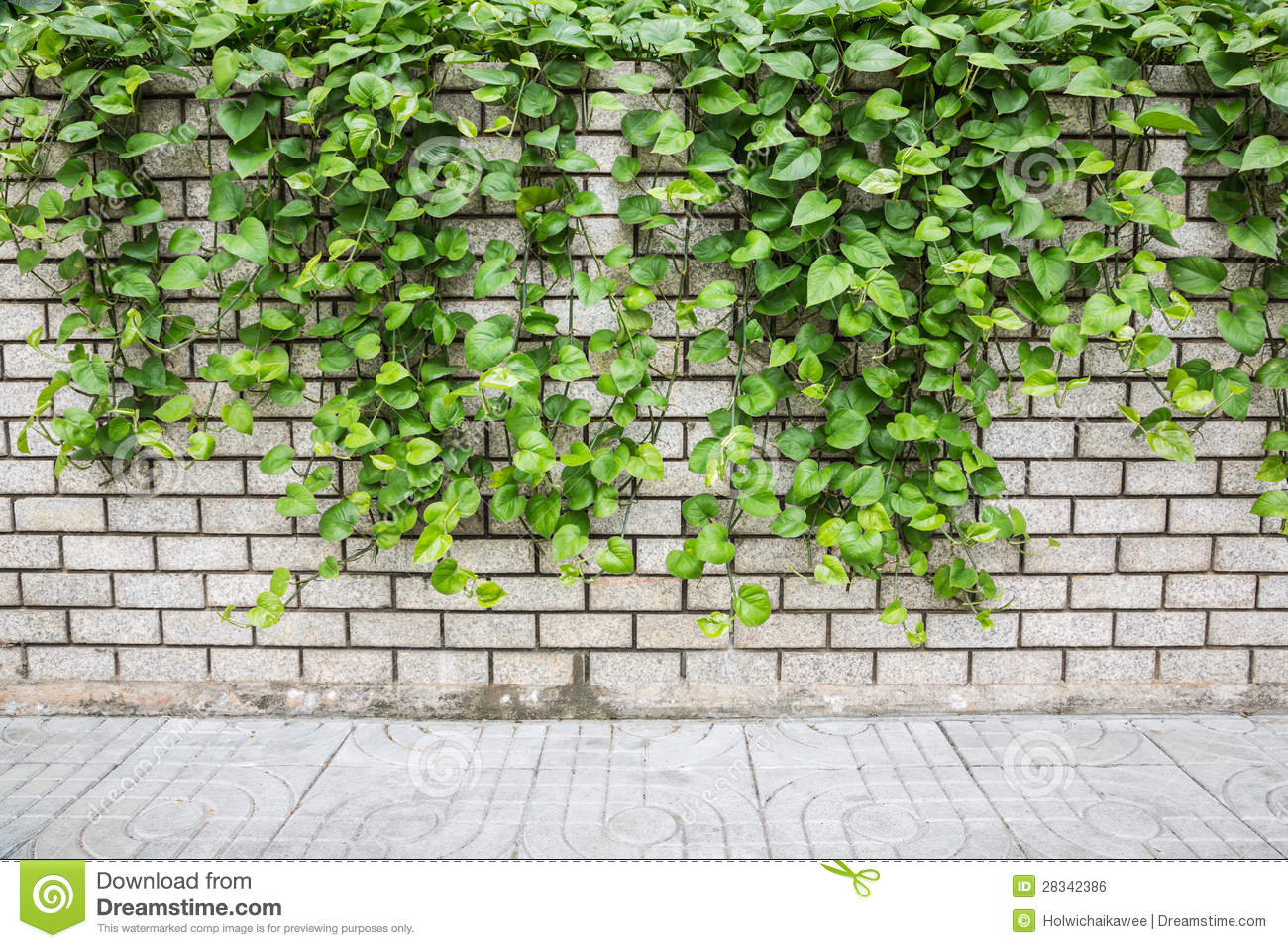 Ivy Stock Photo.