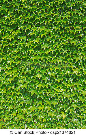 Stock Photo of Ivy wall.