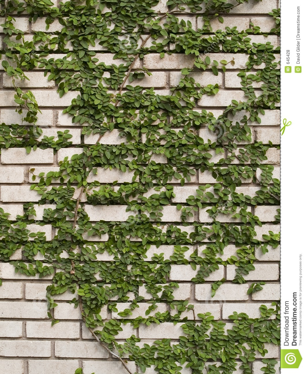Green Ivy On Wall Royalty Free Stock Photos.