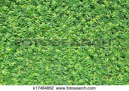Stock Photo of Green ivy wall k17464852.