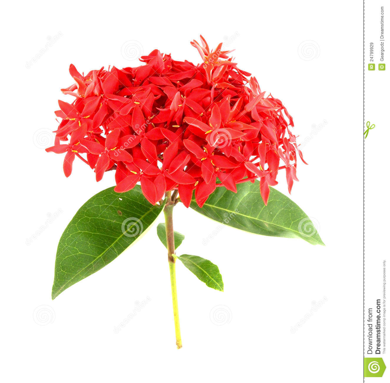 Ixora Flower On White Royalty Free Stock Images.