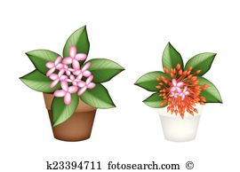 Ixora Clip Art EPS Images. 17 ixora clipart vector illustrations.