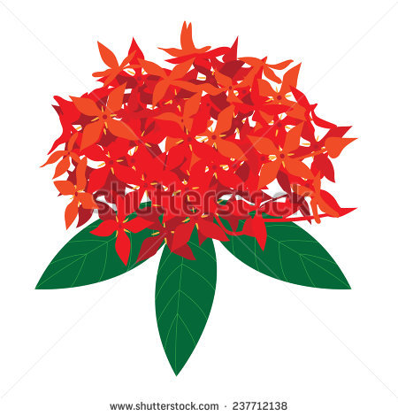Ixora Stock Vectors, Images & Vector Art.