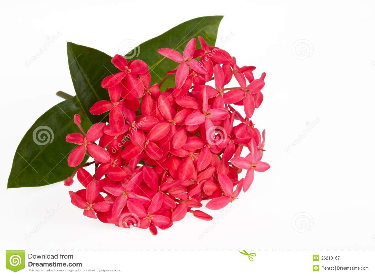 Ixora Flower Stock Photos, Images, & Pictures.