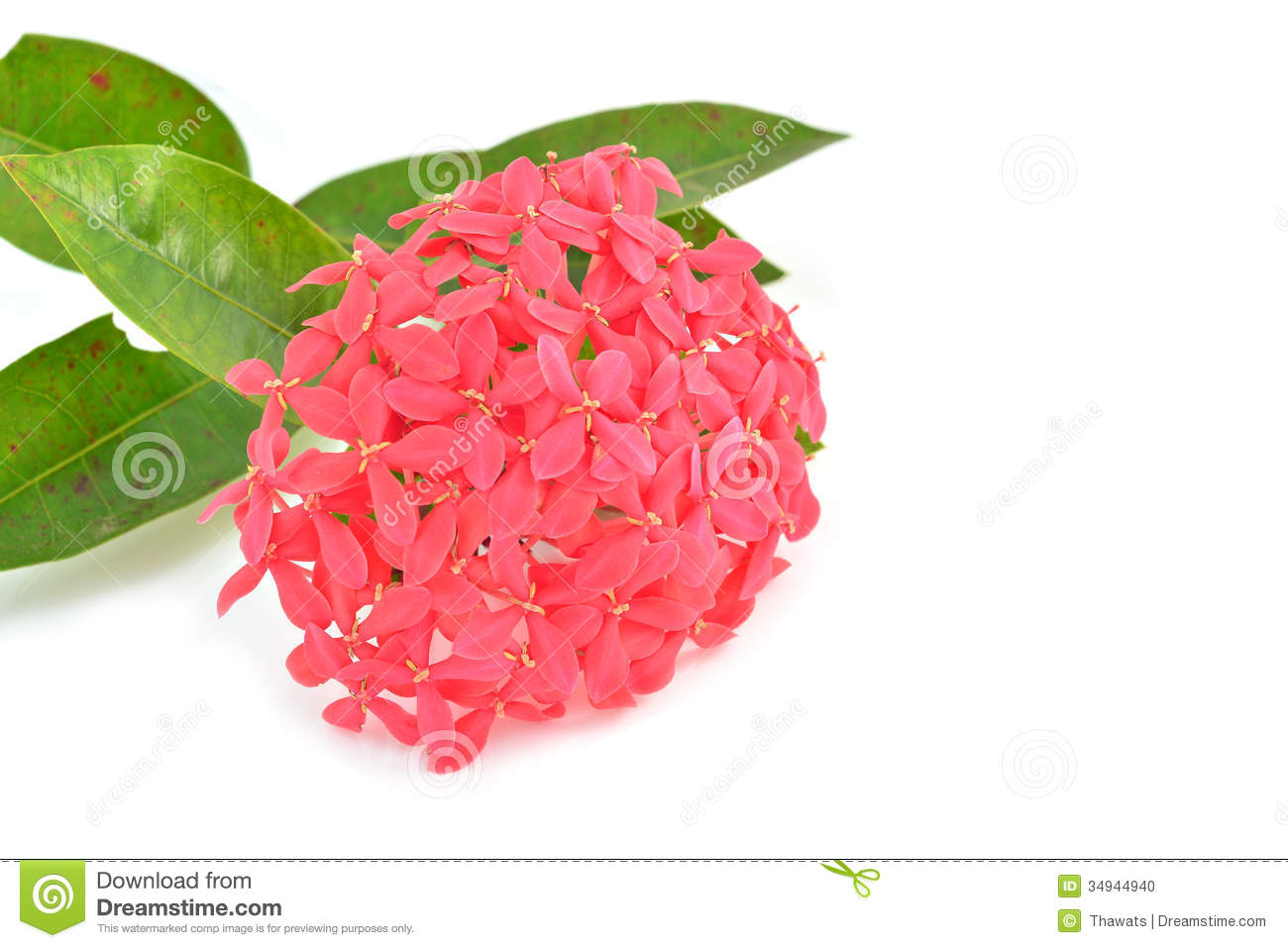 Pink Ixora Flower Isolated White Stock Photos, Images, & Pictures.