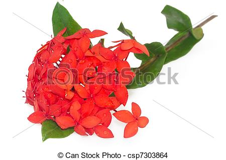 Stock Photo of Red Ixora coccinea, isolated.