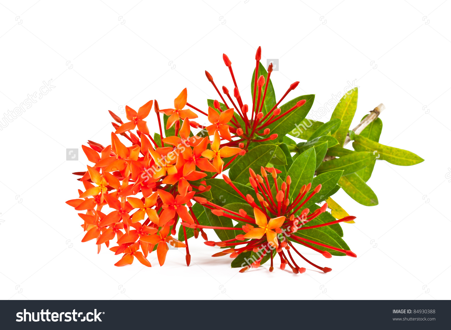 Ixora Flower On White Background Stock Photo 84930388.